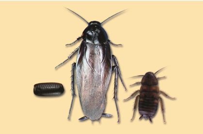 Lifecycle of a Smokey-Brown and Brown Cockroach