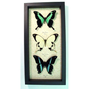 African Swallowtail Collection