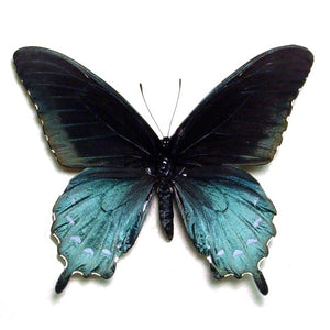 North American Butterfly Blue Green Pipevine Swallowtail Framed