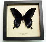 Giant Black Swallowtail Butterfly Framed