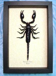 Giant Black Stinging Scorpion Framed