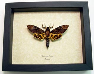 Death's Head Hawkmoth Framed
