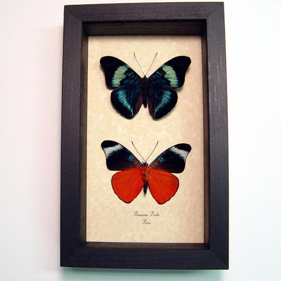 Red Flasher Butterfly Set