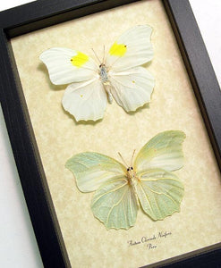 White Angled Sulphur Butterfly Set