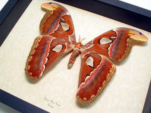 Giant Atlas Moth Framed