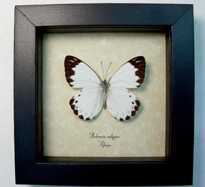 Framed African Calypso White Butterfly