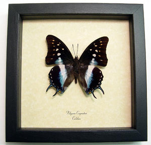 Blue Dagger Tail Butterfly