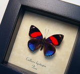 Callicore Blue Red Framed Butterfly