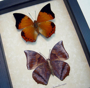 Tawny Rajah Butterfly Set