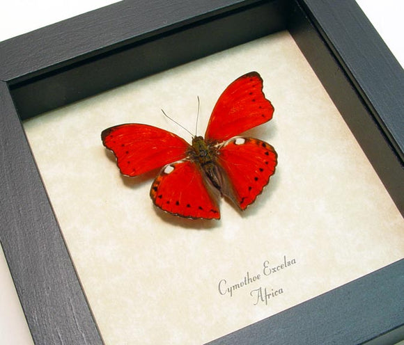 Scalloped Red Glider Butterfly