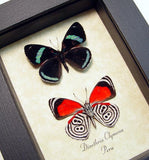 Clymena Pair The 88 Butterfly  Framed