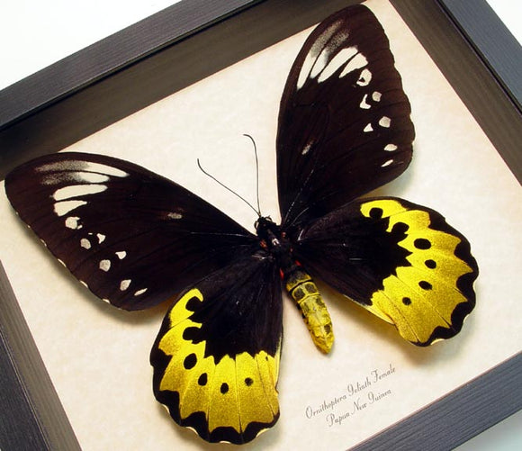 Framed Goliath Birdwing 7