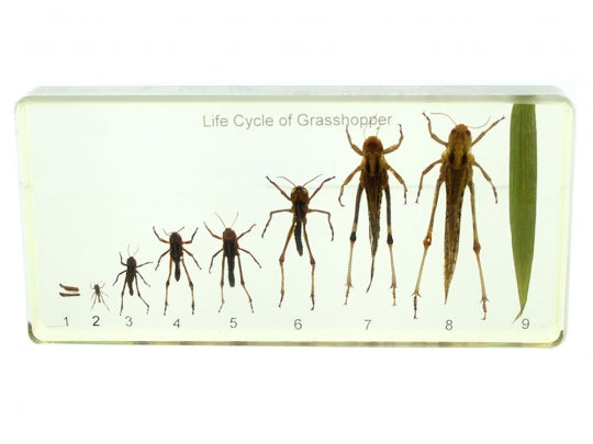 Life Cycle of Grasshopper Display