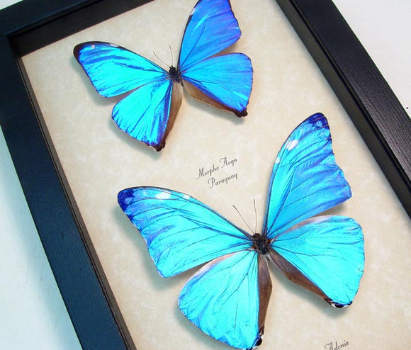 Giant Blue Morpho Butterfly Duo Framed