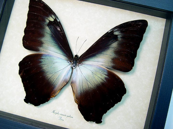 Hued Giant Blue Morpho Butterfly Framed