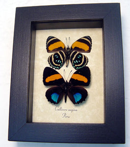 Framed Blue Orange Tropical Butterfly Pair