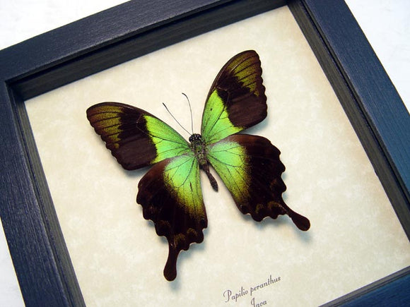 Green Swallowtail Butterfly Framed