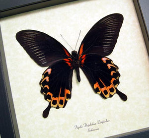 Tequila Sunrise Verso Framed Butterfly