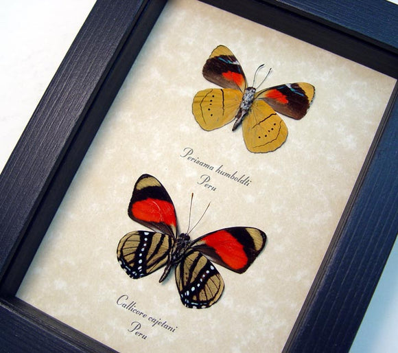 Colorful Callicore Butterfly Set