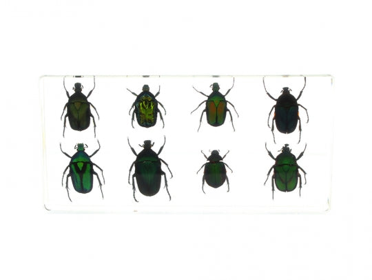 Rose Chafer Beetle Specimen Set