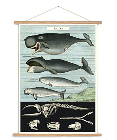 Vintage whale chart poster print