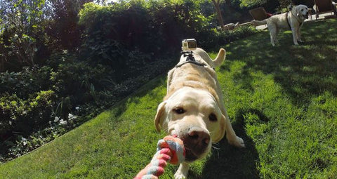 GoPro Fetch™ (Dog Harness) - GadgitechStore.com Lebanon - 2