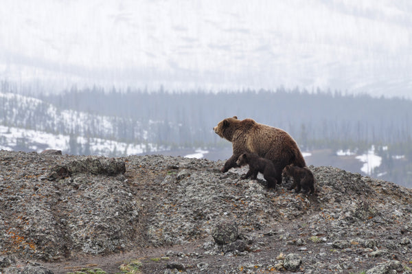 Grizzly Bear and Cubs on Mountain