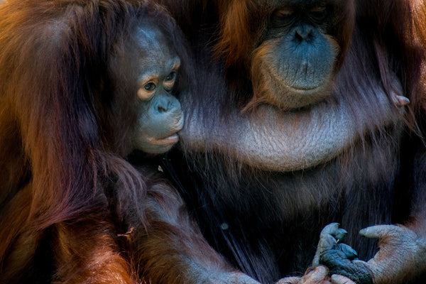 Orangutan Mother Feeding Her Baby