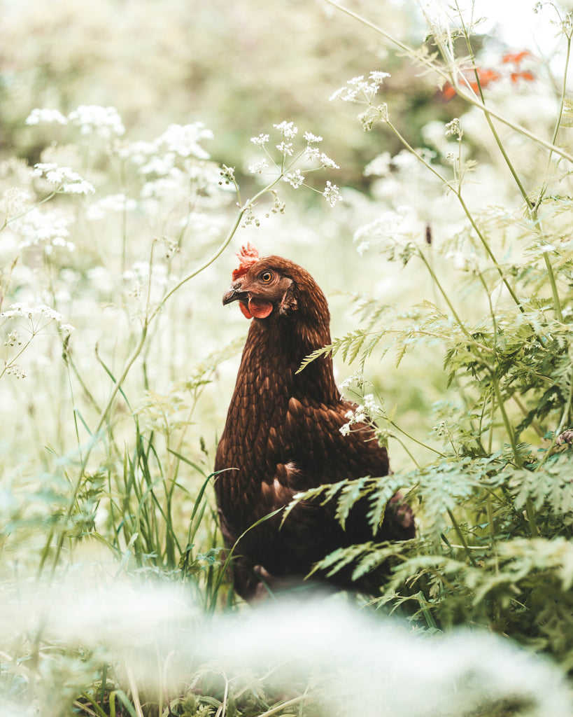 'Chicken in the Flowers' Fine Art Print - Lonely Closet