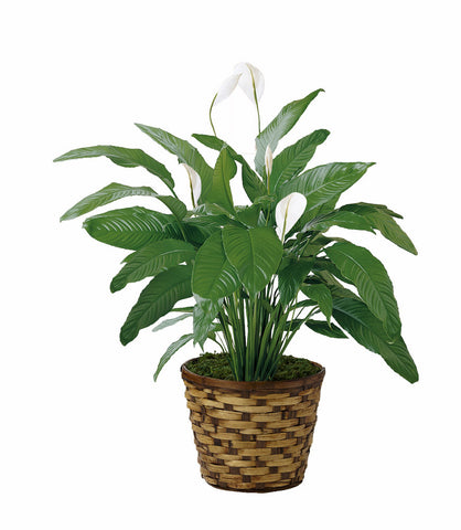 Basket Peace Lily