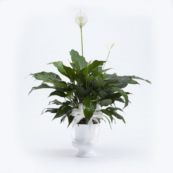 Classic Peace Lily in White Urn