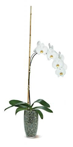 Potted Phalaenopsis