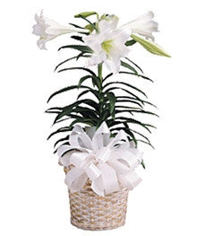Easter Lily Plant