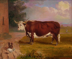 The Hereford Ox Historic Print