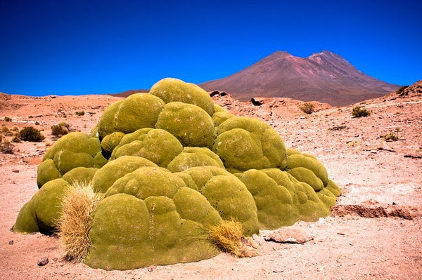 Yareta of Peru, An endangered species used for cooking, taking thousands of years to regrow.