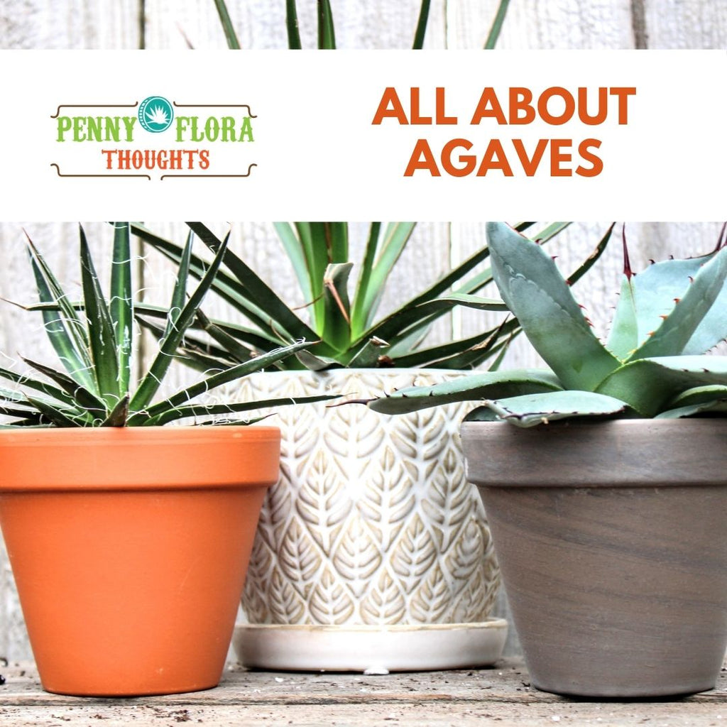 All About Agaves