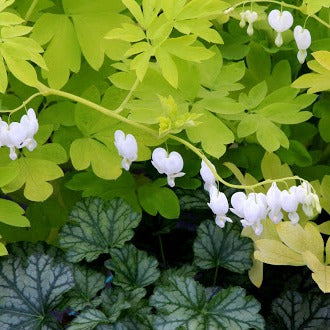 """White Gold"" Bleeding Heart"