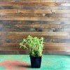 "Oregano ""Hot & Spicy"" (Origanum) 4"" Start"