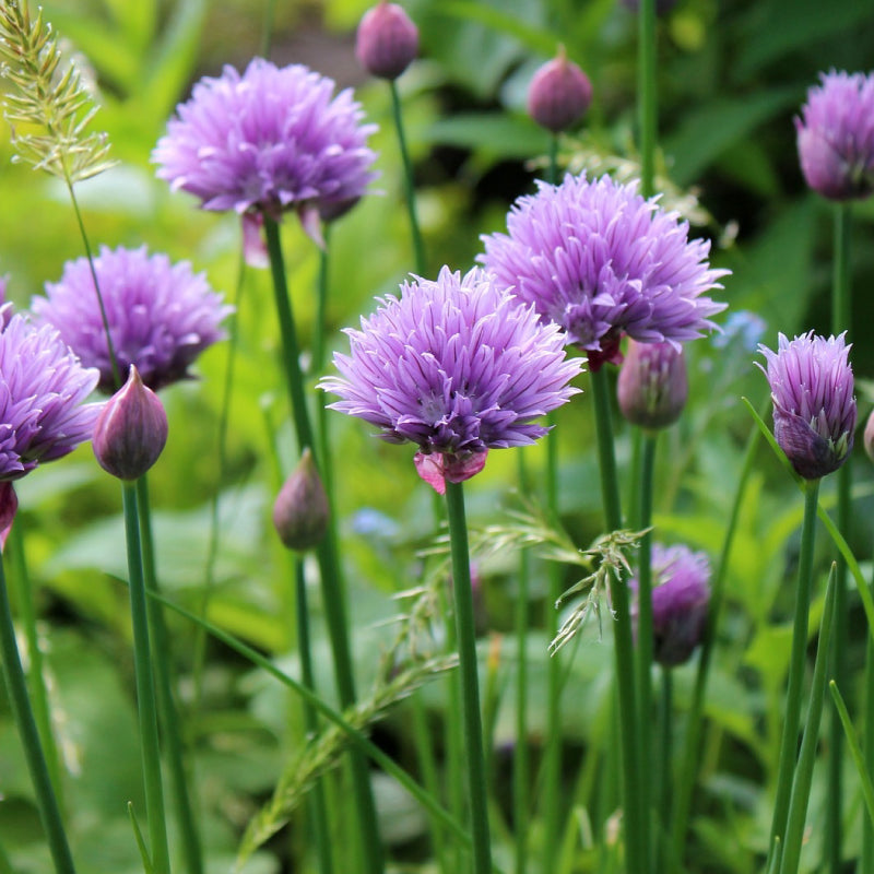 "Chives (Allium schoenoprasum) 4"" Start"