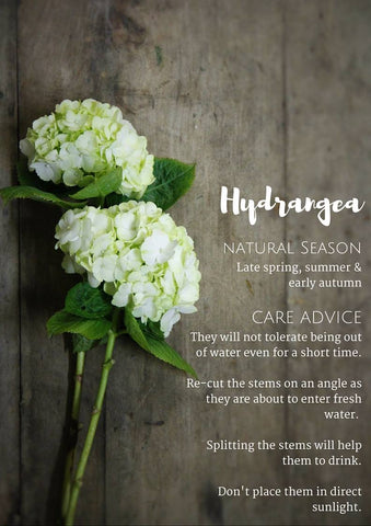 Flower and Foliage Guide. Hydrangea.