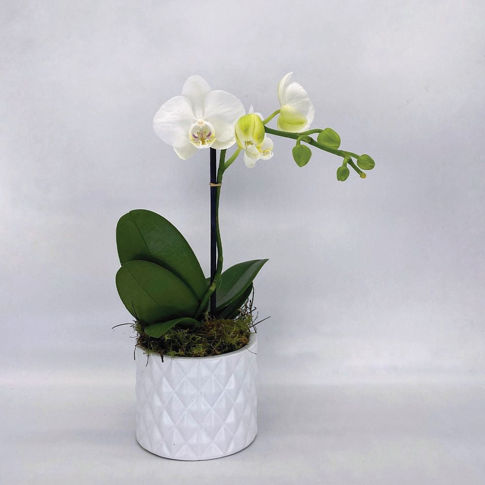 AMABILIS POTTED ORCHID