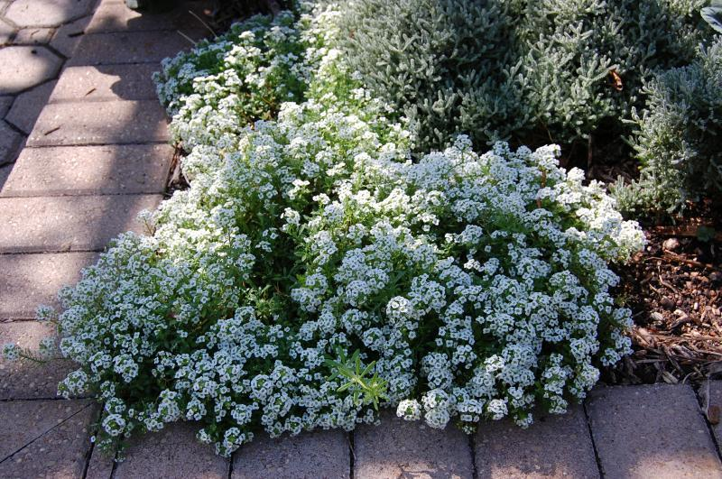 SETTLER SEEDS: Edible Flowers - Alyssum