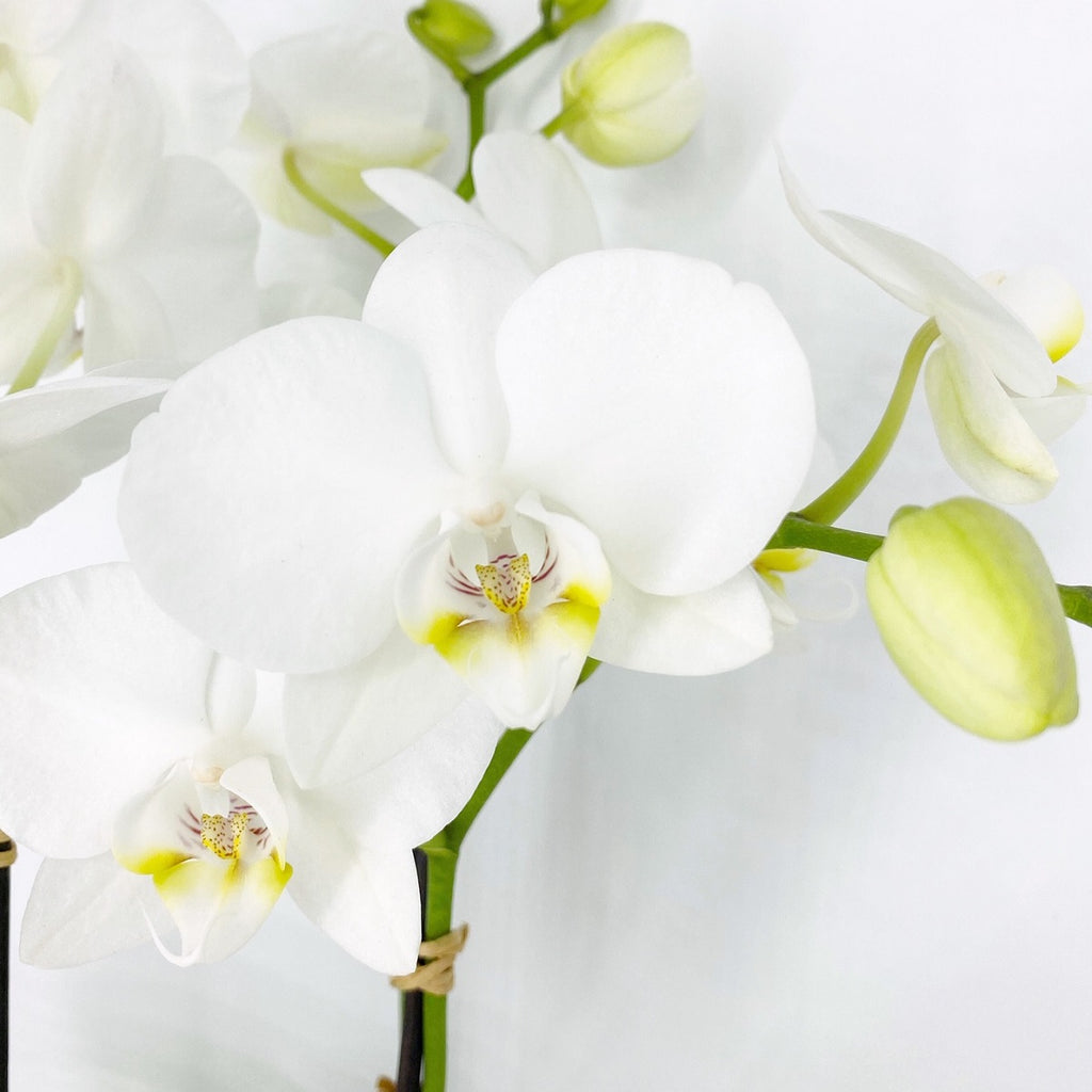 MINI ORCHIDS IN GLASS