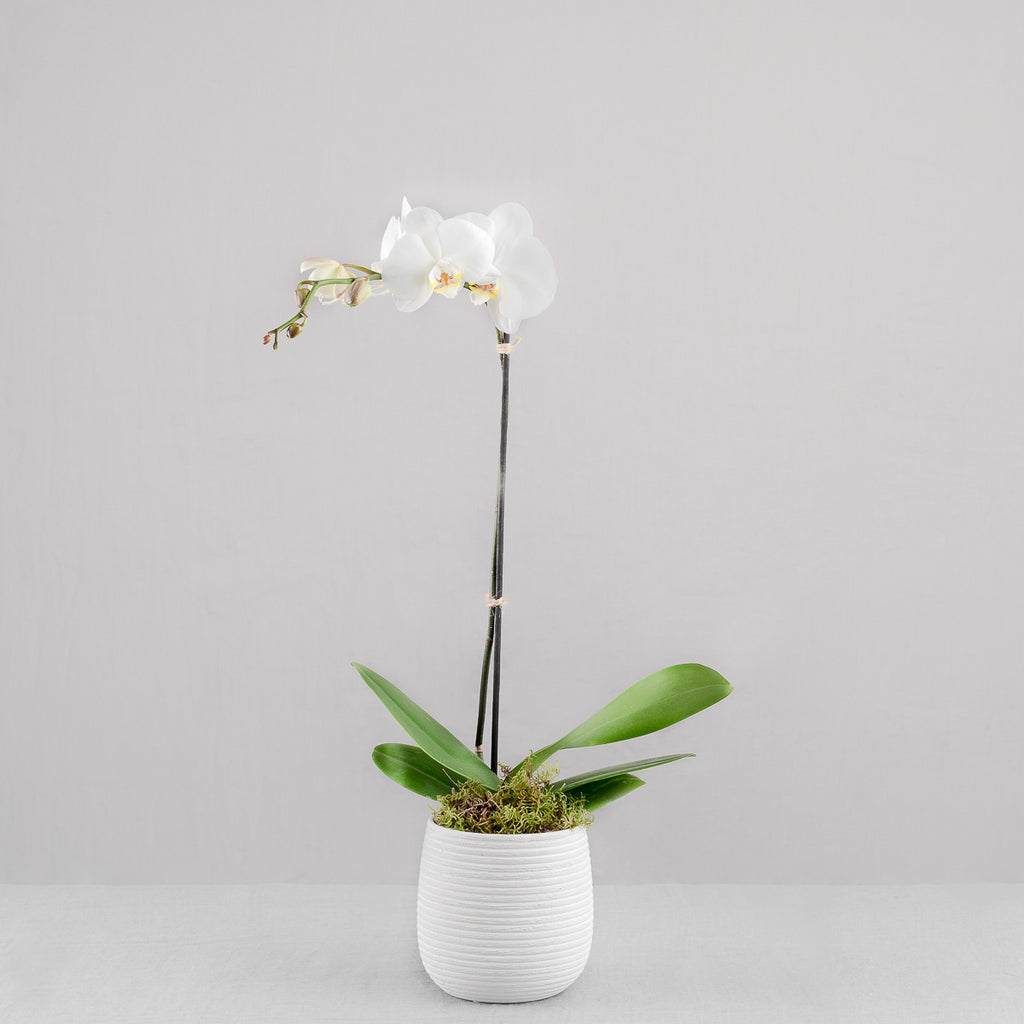 POTTED ORCHID IN CERAMIC