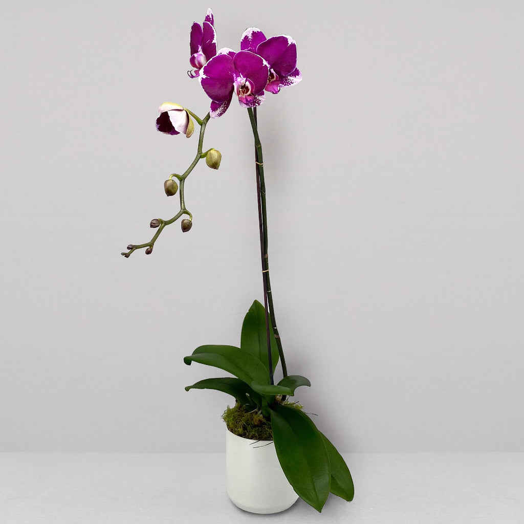 POTTED ORCHID IN CERAMIC - Florist Choice