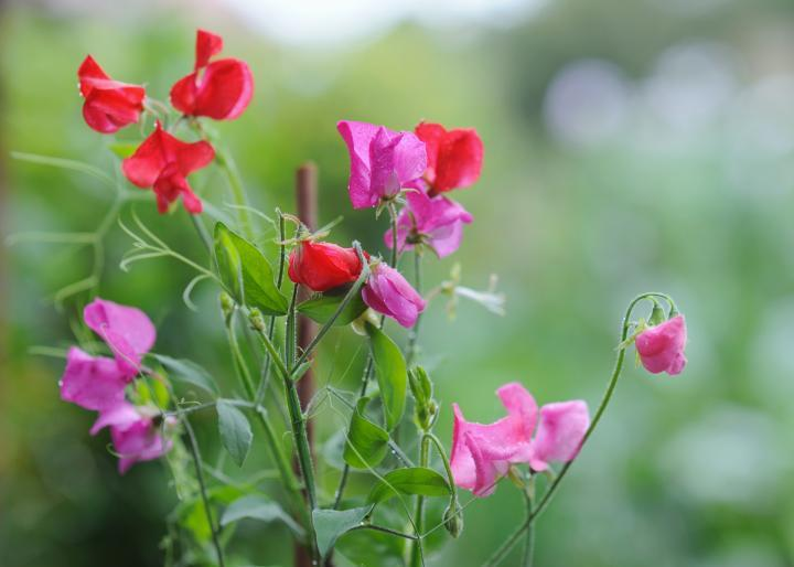 SETTLER SEEDS: Cut Flowers - Sweet Pea