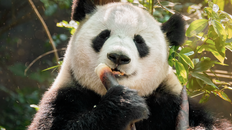8 Videos of Pandas Guaranteed To Brighten Your Day