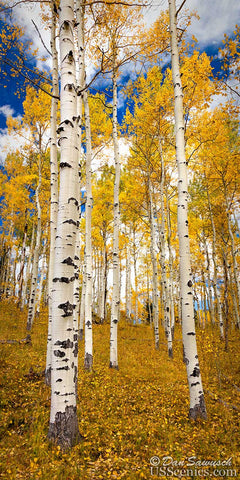 A Walk Through the Aspens