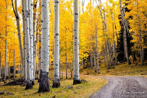Yellow aspens for fall colors in colorado - Aspen Glory Road