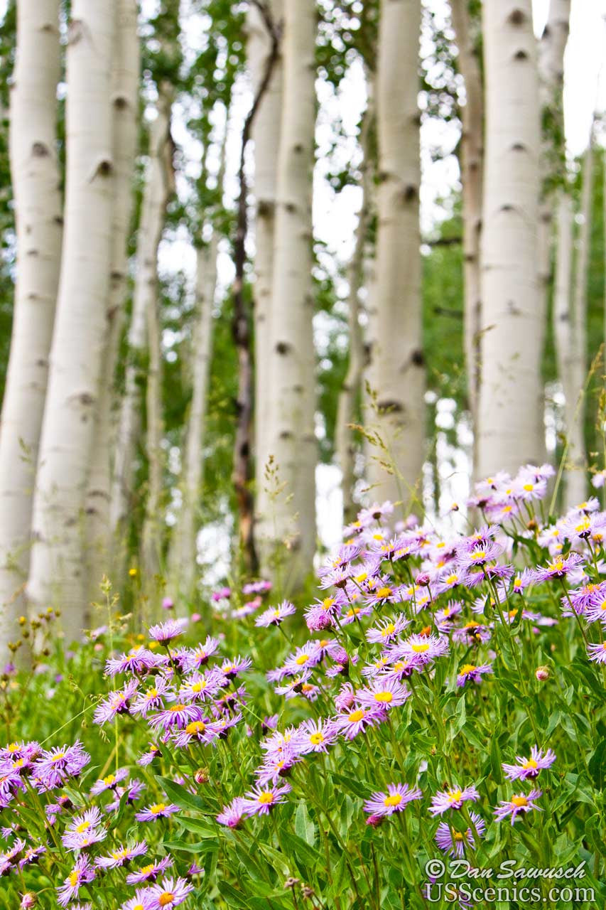 Asters Aspens Spring Flowers And Green Aspen Trees In Colorado